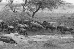 Stampede! (Ring a Ding Ding) Tags: 2018 africa ascilia canon300mmf28 connochaetes namiriplains serengeti tanzania action blackandwhite herd mammal migration nature running safari stampede wildebeest wildlife shinyangaregion ngc npc
