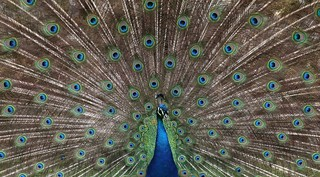 Indian Peafowl: sychedelic