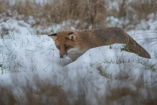 Fox out hunting in the meadow