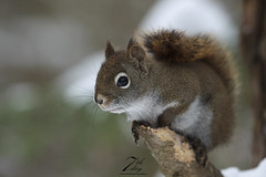Little red (Seventh day photography.ca) Tags: redsquirrel squirrel nature animal wildanimal wildlife snow spring ontario canada chrismacdonald 7thdayphotography