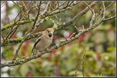 _DSC0019_Grosbec casse noyaux (patounet53) Tags: coccothraustescoccothraustes fringillidés grosbeccassenoyaux hawfinch passériformes bird oiseau