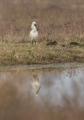 Reflet blanc (Eric Penet) Tags: spatule wildlife wild bird baie sauvage somme printemps mars marais crotoy échassier blanche oiseau picardie france nature reflet