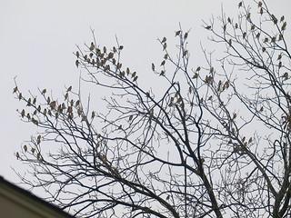 Tree Full Of Waxwings