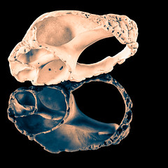 Broken Sea Shell Reflection (roseysnapper) Tags: heliconfocus ledlighting niksoftware nikkor105mmmicrof28 nikond810 silverefexpro20 blackbackground focusstack splittoning lightroom macro photoshop broken imperfection reflection seashell shell