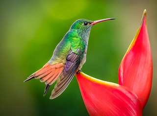 Rufous-tailed hummingbird - Costa Rica Photography Workshop