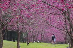 愛在櫻花紛飛時 (hosihane) Tags: 台灣 南投縣魚池鄉 九族文化村 櫻花祭 八重櫻 戀人 formosa sony a77