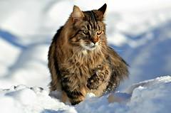 winter Elvis (KvikneFoto) Tags: elvis katt cat snø snow vinter winter bokeh tamron nikon