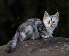 IMG_3402 (pavelkalin) Tags: cat canon 1dx mark2 70200mm f28 is l ii usm animal