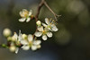 Blackthorn Blossom - a sure sign spring is on it's way :-) (microwyred) Tags: forestwoods spring events season blossom blackthorn leaf outdoors beautyinnature trees closeup flower branch daffodils plant bud macro tree white cherryblossom blossoming freshness flowerhead nature petal springtime wildflowers