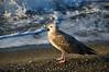 Seagull at the beach (echumachenco) Tags: bird animal seagull sea seaside beach water foam wave sand pebble morning outdoor july summer italy italia bordighera liguria nikond3100