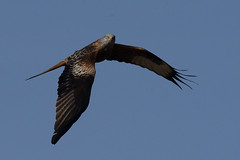 Red Kite Titchwell 1_01 (JohnMannPhoto) Tags: red kite titchwell rspb norfolk