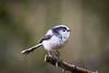 Long tailed tit. (dale_jeffs) Tags: bird birding birdwatching tit longtailedtit northampton northamptonshire summerleys wellingborough naturereserve uk ukwildlife wildlifeuk nature spring wildlifetrust