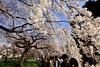 IMG_5839 (digitalbear) Tags: canon eos6d sigma 14mm f18 dg art shinjku gyoen sakura cherry blossom blooming hanami tokyo japan