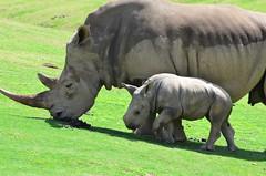 DSC_5485 (Andrew Nakamura) Tags: animal mammal rhino rhinoceros whiterhino southernwhiterhinoceros sandiegozoosafaripark safaripark escondido rhinocalf mothercalf onthemove