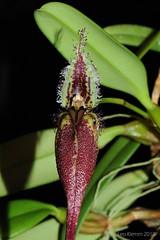 Bulbophyllum fascinator (LukusuziRiver) Tags: orchid bulbophyllum