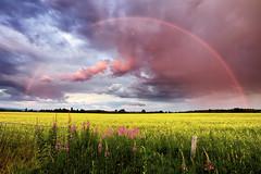 Arc en ciel (gaudreaultnormand) Tags: arcenciel canola coucherdesoleil épilobe été fleurs jaune rainbow saguenay soir sunset fleur ciel champ