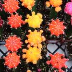 Cacti thumbnail