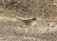 _J3A6234 7D Mark ll Tamron 150-600mm G2 White-crowned Sparrow (greaves_russell) Tags: bigmorongocanyonpreserve boxcanyonrd nature animals fitness travel sprint overstock people music flickr dancingwiththestars games oops bing foxnews espn cars target bestbut bolsachicawetlands wildlife jobs locations typesofclothing professions days hours minutes dog cat fish bird cow moon world earth forest sky plant wind flower amazon ocean river mountain rain snow tree sanjoaquin anzaborrego huntingtonbeach disneyland knottsberryfarm sandiego forsterstern landscapewhitewater civilwarreenactment