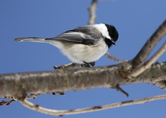 Chickadee (Diane Marshman) Tags: blackcapped chickadee small bird black head gray wings tail feathers white face chest breast winter northeast pa pennsylvania nature blue sky wildlife tree branch