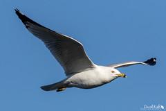 Close Gull (dekish1) Tags: gull inflight 2v3a0740jpg lakewood colorado unitedstates us copyrightdavidkish2018 belmarpark canon7dmarkii canon100400mm