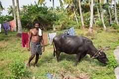 La vita nel villaggio... (Renato Pizzutti) Tags: india kerala kochi bufaloasiatico uomo animale villaggio nikond750 renatopizzutti