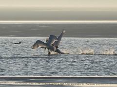 Swan dance.... (Jaedde & Sis) Tags: knopswaner mute swans action ringkøbing fjord water friendlychallenges