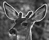 Mule deer (Odocoileus hemionus). Sandia Mountains, New Mexico, USA. (cbrozek21) Tags: muledeer odocoileushemionus sandiamountains newmexico 7dwf blackandwhite monochrome animal mammal nature deer black white flickrunitedaward