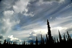 Weeping Alaskan Cedar Silhouette (janetfo747 ~ slowing returning) Tags: travel tour trip globetrotting sightseeing vacation colorful exciting alaska anchorage weeping cedar sihouette sky blue wild wilderness star clouds