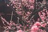 城南宮|京都 (KaguraYanki) Tags: canon650d 梅花 梅 枝垂梅 しだれ梅 椿まつり 城南宮 源氏物語 花之庭 花見 京都 kyoto japan photography