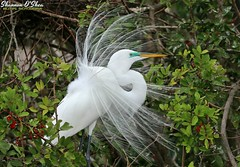 Behind the veil is concealed many a delight (Shannon Rose O'Shea) Tags: shannonroseoshea shannonosheawildlifephotography shannonoshea shannon throughherlens greategret egret bird beak lores feathers plumage plumes aigrettes white colorful leaves berries breedingplumage alligatorbreedingmarshandwadingbirdrookery gatorland orlando florida flickr wwwflickrcomphotosshannonroseoshea outdoors outdoor fauna art photo photography photograph nature wildlife waterfowl ardeaalba gatorlandbirdrookery rookery canon canoneos80d canon80d eos80d 80d canon100400mm14556lisiiusm femalephotographer womenshistorymonth flickrsocial branch branches girlphotographer photographer shootlikeagirl