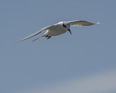 Forster's Tern (AnthonyVanSchoor) Tags: forsters tern sterna forsteri blackwater nwr dorchestercounty marylandbiodiversityproject marylandbirding maryland nikond7100 tamron150600mmtelephotolens inflight birding bird birdphotography