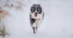 9/52 One Gear Paddy (JJFET) Tags: 9 52 weeks for dogs paddy border collie dog sheepdog collies