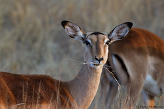Impala ewe (leendert3) Tags: leonmolenaar wildlife nature southafrica krugernationalpark mammals impala antelope ngc npc