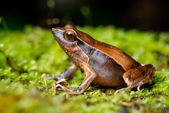 Atlantic Forest Dwarf Frog (Physalaemus lateristriga) (Alessandher Piva) Tags: frog sapo rã blumenau santa catarina vale do itajaí herpeto herpetologia herpetology alessandher piva biólogo biologia medicina veterinária unisociesc univali macro fotografia anfíbio