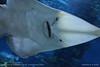 Common shovelnose ray (Glaucostegus typus) (srkirad) Tags: fish ray glaucostegus aquarium tropicarium travel budapest hungary underwater sea salt closeup