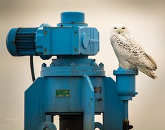 Industrial Strength . . . (Dr. Farnsworth) Tags: bird large male snowyowl owl white wind feathers wastewater plant pump muskegon mi michigan winter march2018