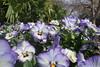 P3080132 (Vagamundos / Carlos Olmo) Tags: dallas usa eeuu vagamundos vagamundos2018 texas tejas flower flores jardín garden arboretum botanical botanicalgarden jardínbotánico