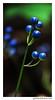 Random Blue Berries (gardnerphotos.com) Tags: apostleislands wisconsin hiking ashlandwisconsin bayfield chequamegonnicoletnationalforest washburn berries nature blue green lake superior lakesuperior