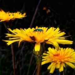 yellow nature (panoskaralis) Tags: flower wildflowers flowers macro yellow plants wildplants nature spring outdoor lesbos lesvos lesvosisland mytilene greece greek hellenic hellas
