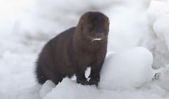 Is this a mink ? (Natimages) Tags: mink wildanimal wildlife winterwildlife nature mustelidae