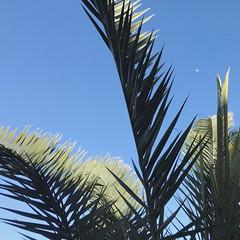 Palms and moon, Echo Park (p.bjork) Tags: palm moon losangeles california