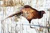 Stretch. (stonefaction) Tags: pheasant loch kinnordy rspb kirriemuir angus scotland birds nature wildlife
