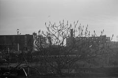 Bush (josephkrings) Tags: 1stavenue brooklyn greenwoodcemetery ilfordhp5 newyork nikkor28105mm13545 nikonn70 sunsetpark blackandwhite warehouse
