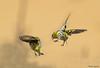 Giocando in volo (Danilo Agnaioli) Tags: lucherini natura italia umbria collinedelperugino canon7dmarkii sigma300