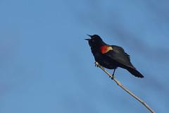 Red-winged blackbird (chmptr) Tags: animalier animal wildlife oiseau bird blackbird