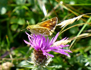 Silver spotted Skipper, Hampshire, England