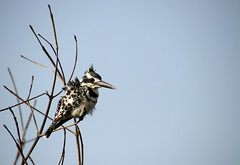 (Male) Pied kingfisher (Ceryle rudis), Kotu creek, The Gambia (Frans.Sellies) Tags: img4678 kingfisher piedkingfisher cerylerudis gambia thegambia малыйпегийзимородок graufischer martinpescatorebiancoenero gråfiskare bonteijsvogel