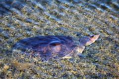 20180215_06 Florida Soft Shell Turtle Green Cay Wetlands Boynton Beach Florida USA (FRABJOUS DAZE - PHOTO BLOG) Tags: greencay wetlands greencaywetlands naturecenter boyntonbeach palmbeachcounty pbc fl fla florida sunshinestate usa unitedstates america amerikka yhdysvallat wildlife nature naturephotography luonto luontokuvaus luonnonpuisto puisto floridasoftshellturtle