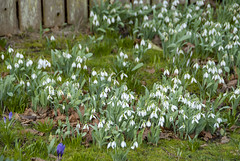 2018-02-09_13-44-26 Snowdrops (canavart) Tags: oakbay bc britishcolumbia vancouverisland spring crocus snowdrop crocuses snowdrops garden