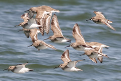 Dunlins (tresed47) Tags: 2018 201803mar 20180306bombayhookbirds birds bombayhook canon7d content delaware dunlin flightshot folder general march peterscamera petersphotos places season shorebirds takenby us winter